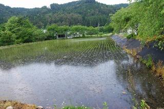 2013525コシヒカリ田.jpg